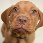 el cachorro gime