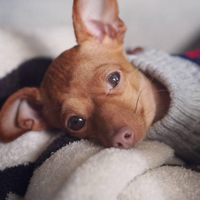 por qué tiemblan los perros