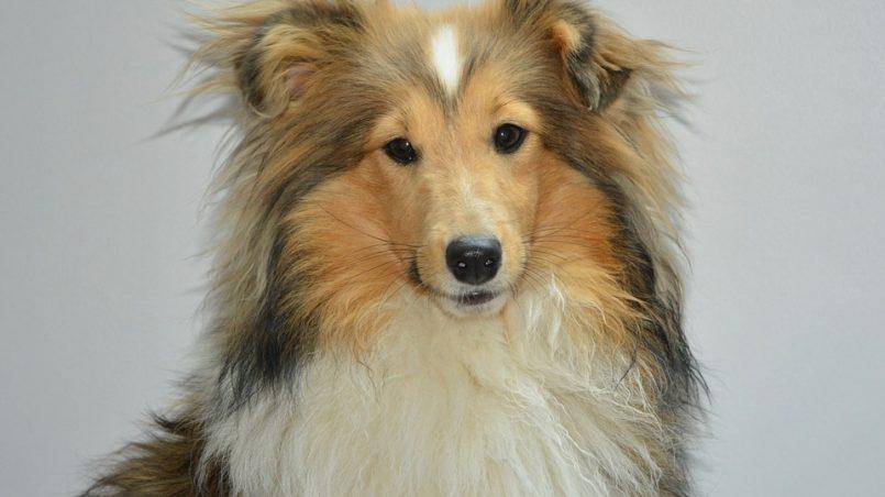 pérdida de pelo en el perro