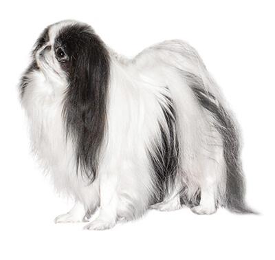 razas de perros pequeños