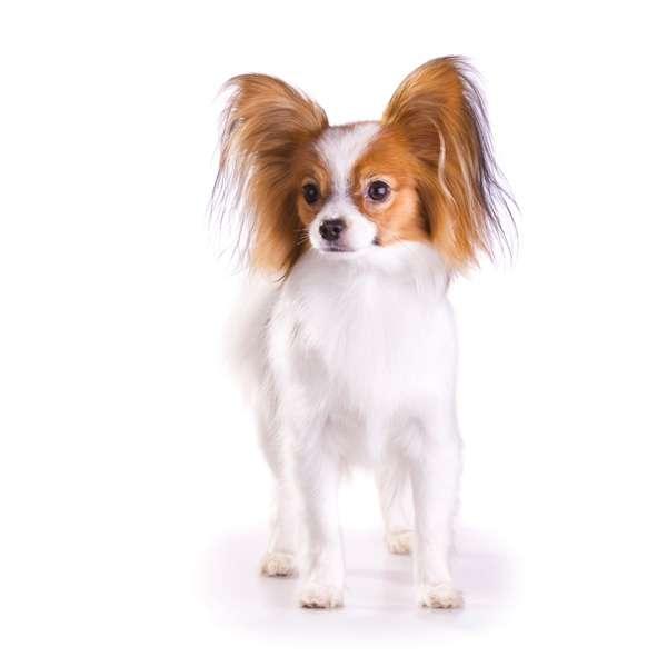 razas de perros pequeñas