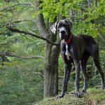 razas de perros más grandes