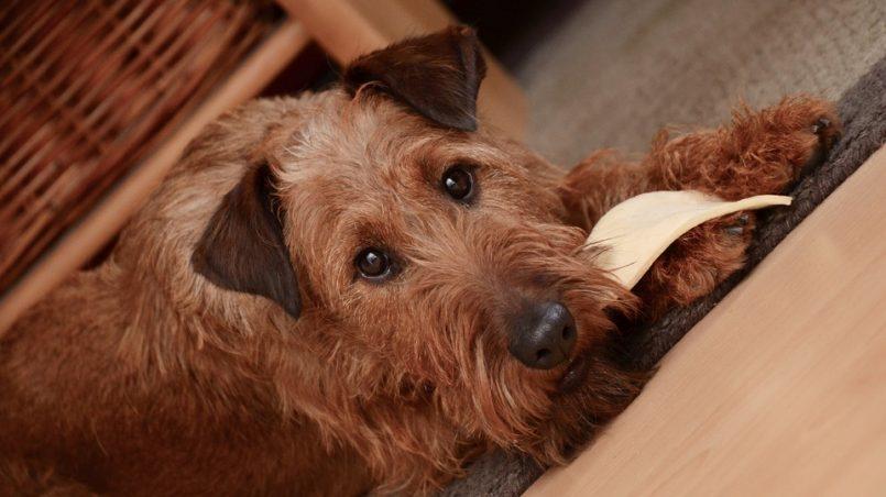 alimentos más tóxicos para los perros