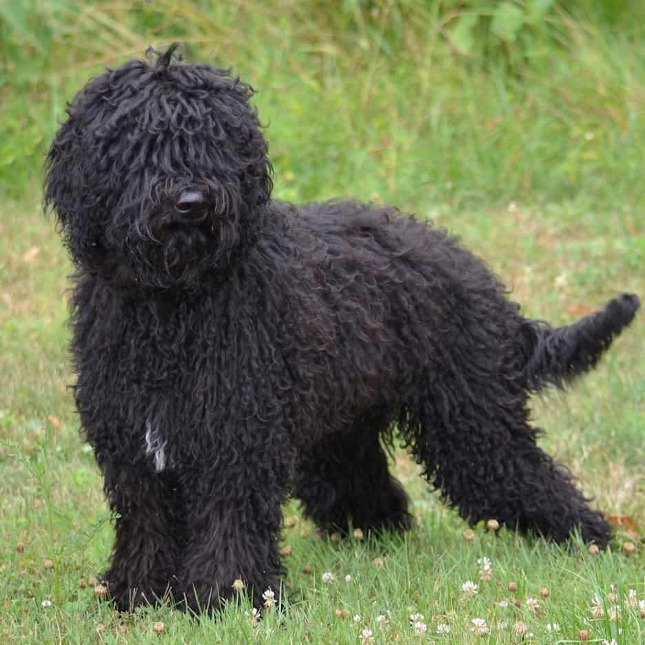 perro barbet