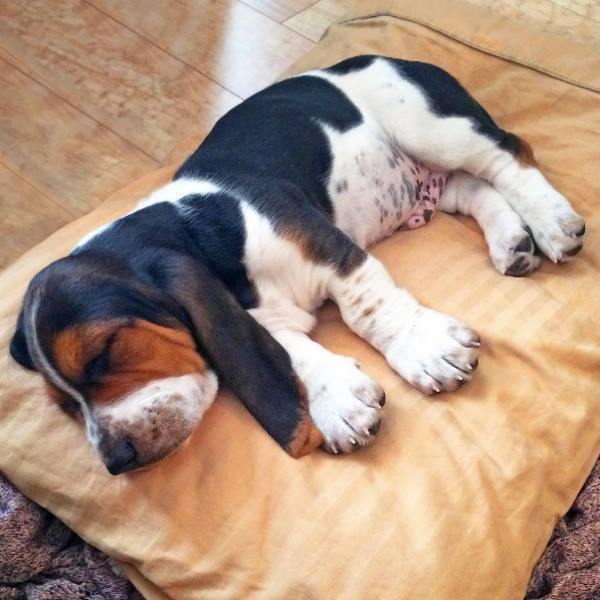 imprinting en perros
