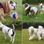 menstruación en perros