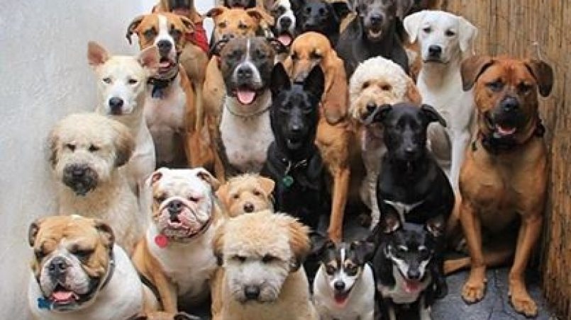 razas puras de perros