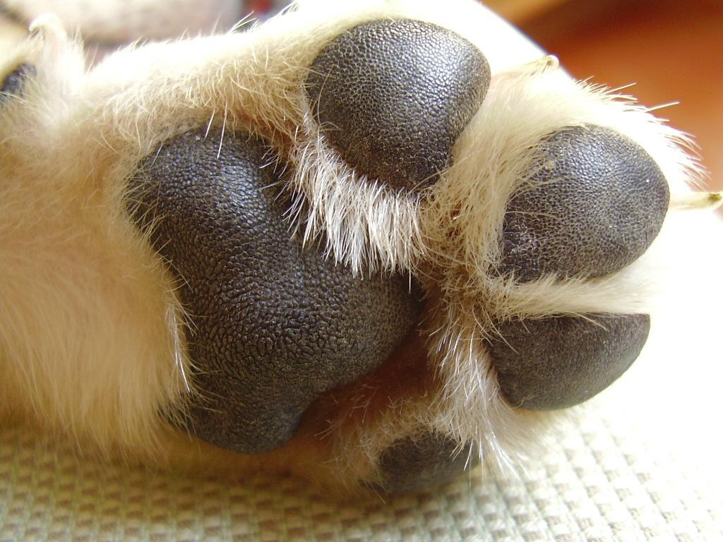 Pata perro 4 dedos