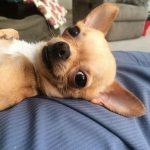 salud de las orejas del perro