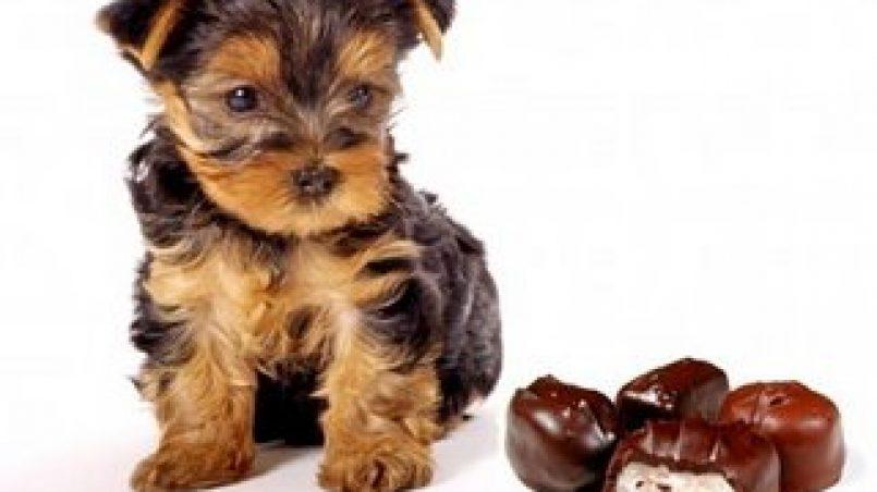 chocolate perros
