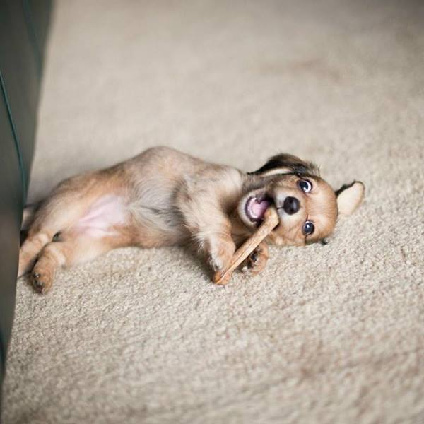 perro con estómago delicado