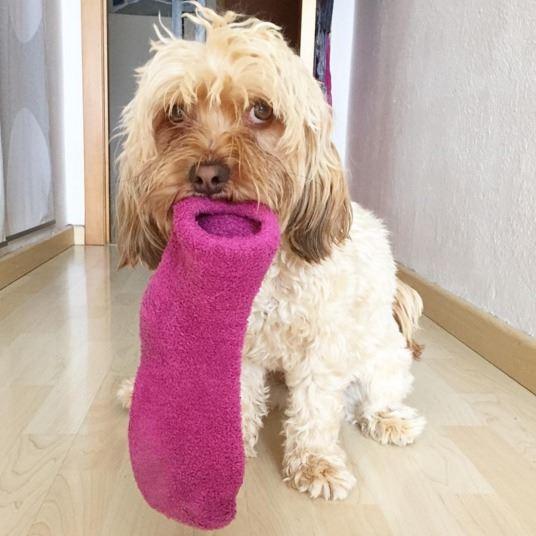 por qué a mi perro le encanta la ropa sucia