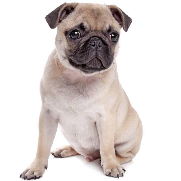 razas de perros con peor olor