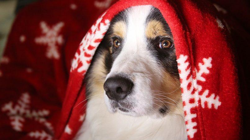 peligros de la Navidad con perro