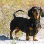 dachshund estandar