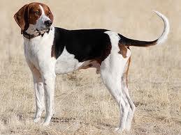 fox hound americano
