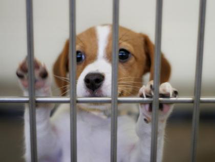 adoptar cachorros