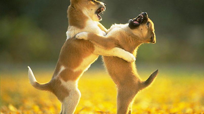 peleas entre cachorros