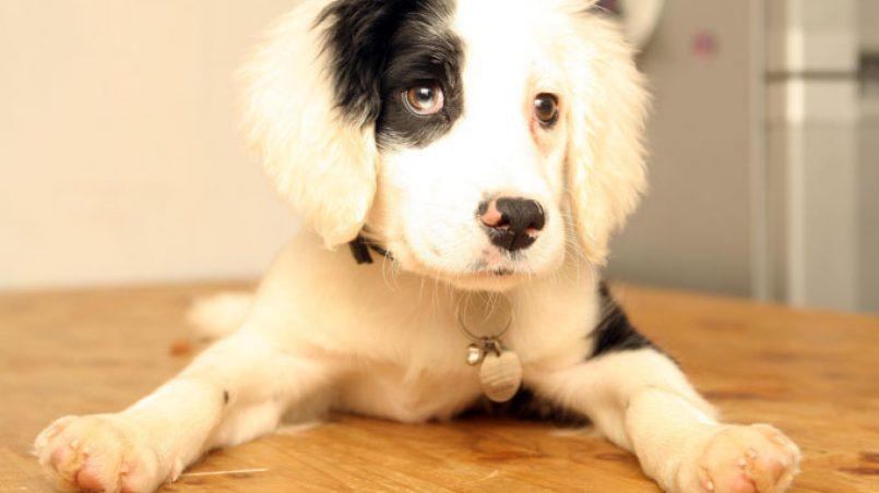 educar a un cachorro sordo