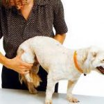 cachorro con displasia de cadera