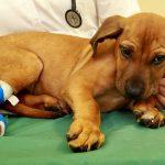 cuidados del cachorro tras operación