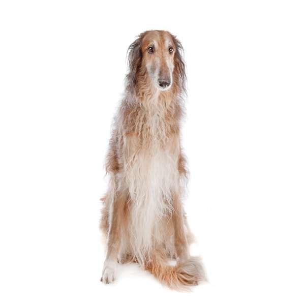razas de perros menos obedientes