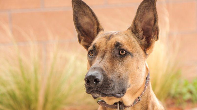 razas de perros con tendencia a otitis
