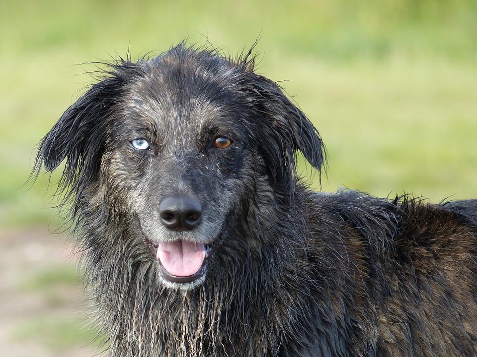 perro con un ojo azul