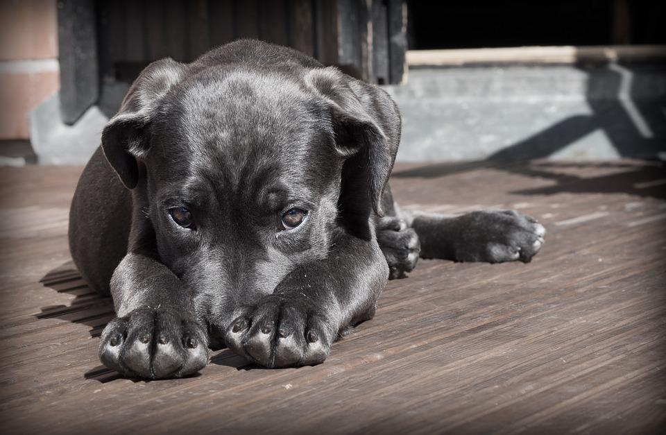 celos en perros