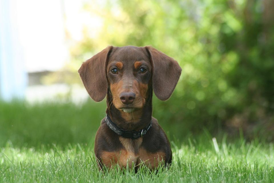 Perro Salchicha Teckel O Dachshund Cómo Educar A Un Cachorro