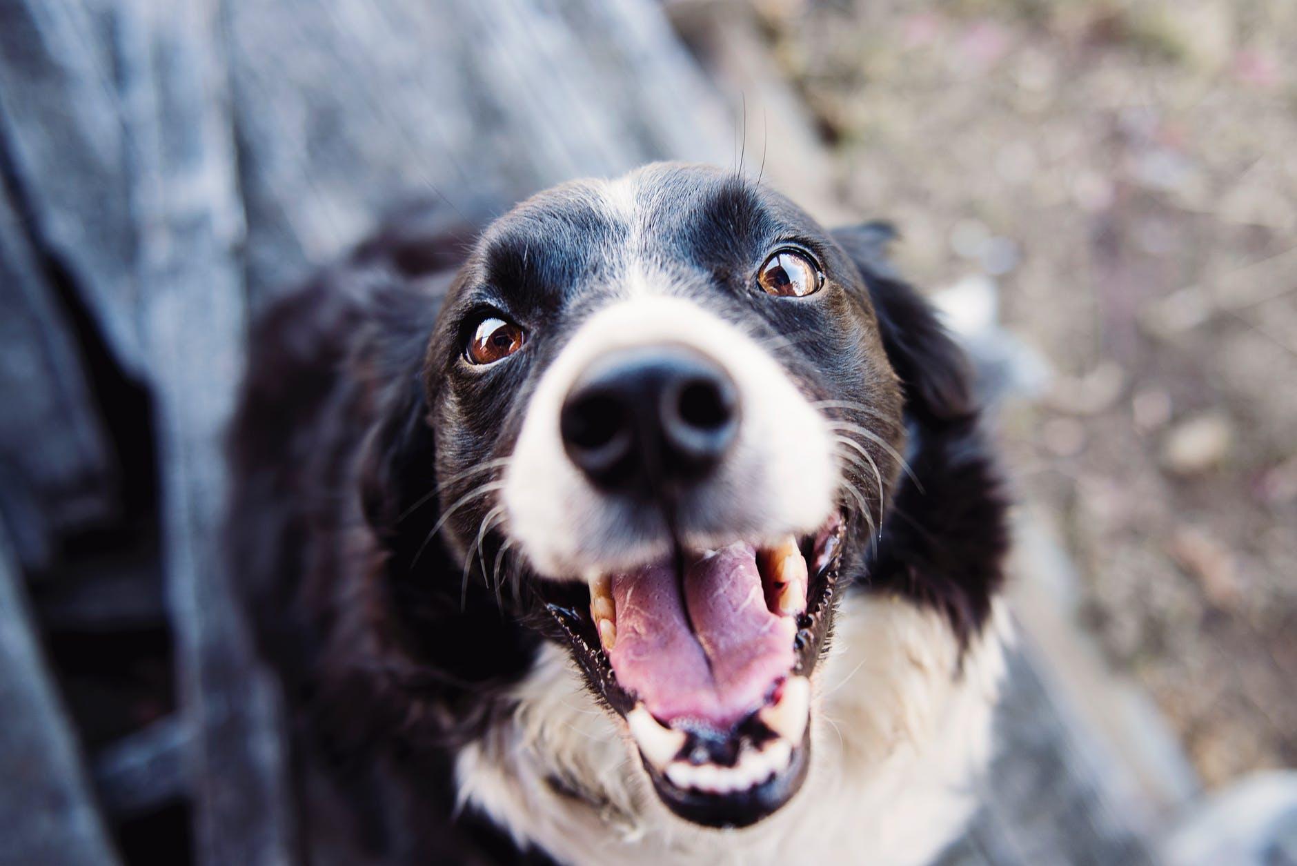 sarro en los dientes del perro