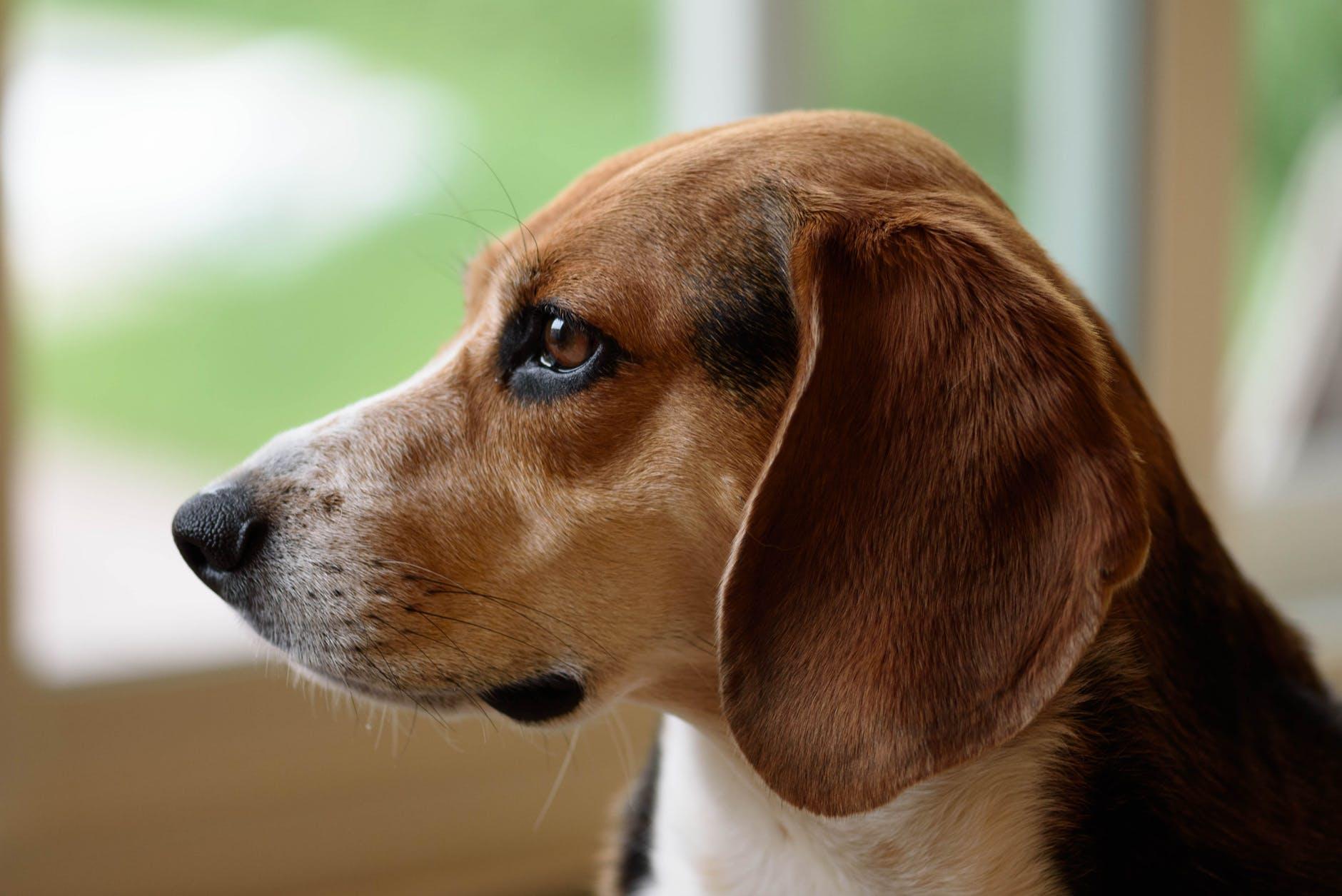 orejas de los perros