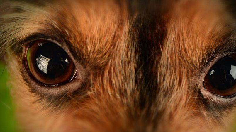 infecciones oculares caninas y diabetes