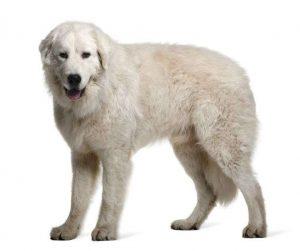 perros de origen italiano