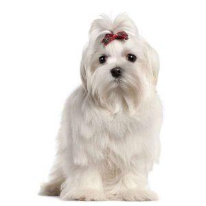 razas de perros de Italia