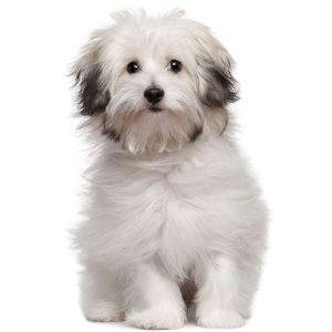 razas de perros de origen italiano