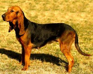 razas de perros originarias de Italia