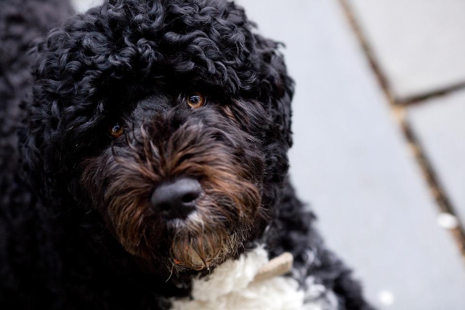 perros de raza mediana para pisos