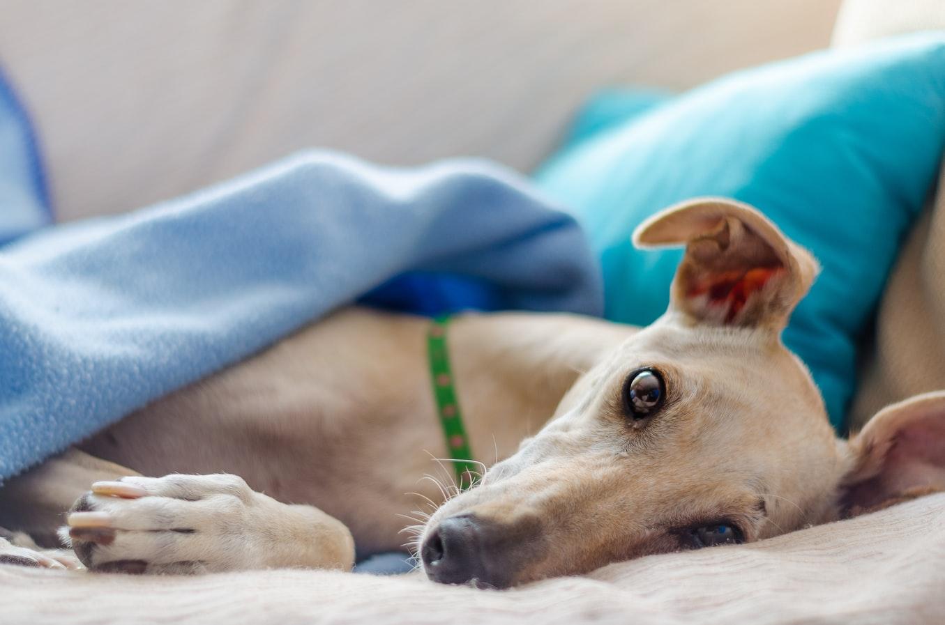 razas de perros grandes para piso