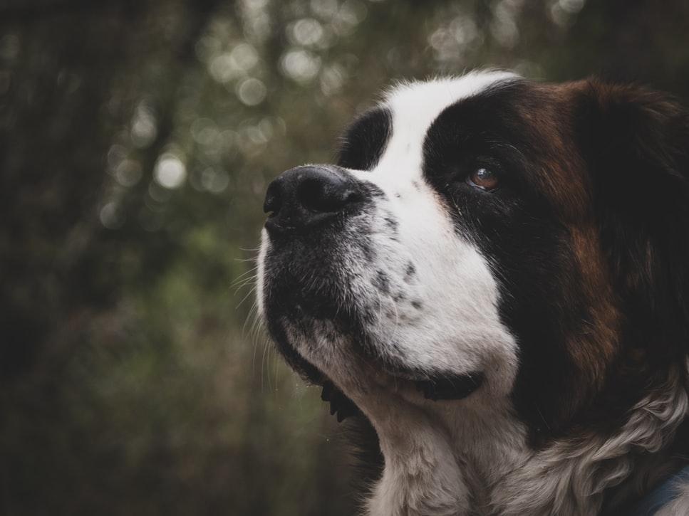 perros grandes para pisos