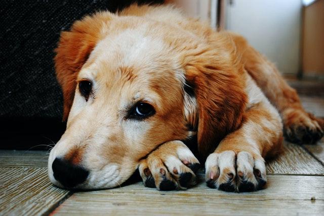 síndrome de cushing en perros