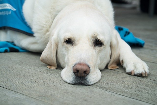 ictiosis en perros