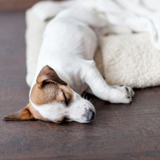 perro se orina en su cama