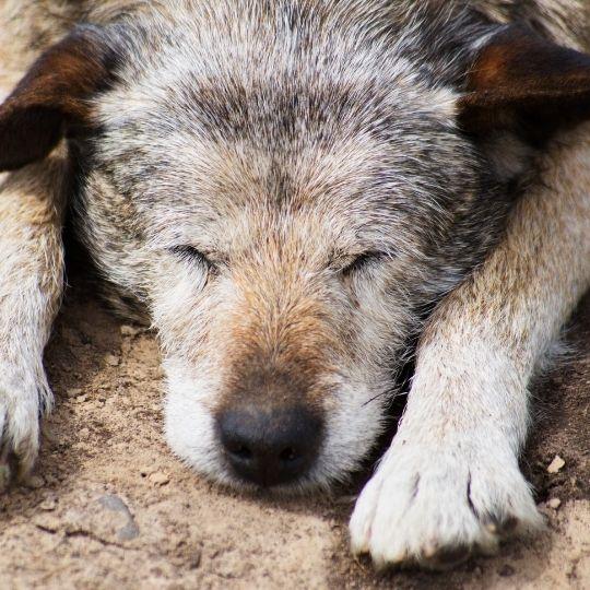 disfunción cognitiva en perros