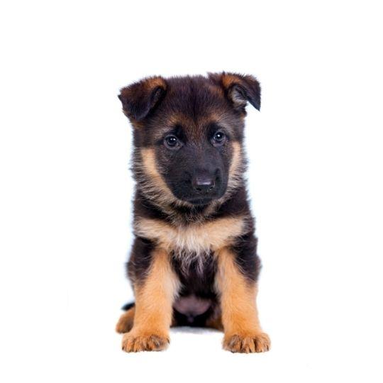 alimentación de un cachorro de pastor alemán