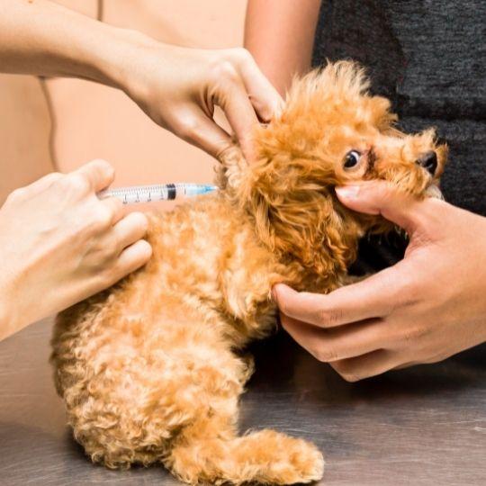 vacunación del cachorro