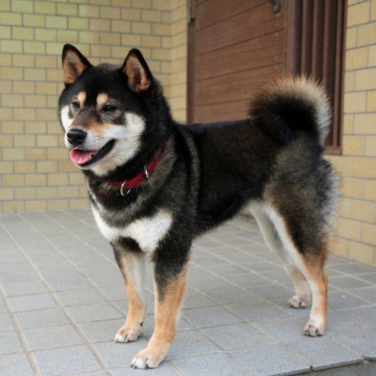 razas de perros japonesas