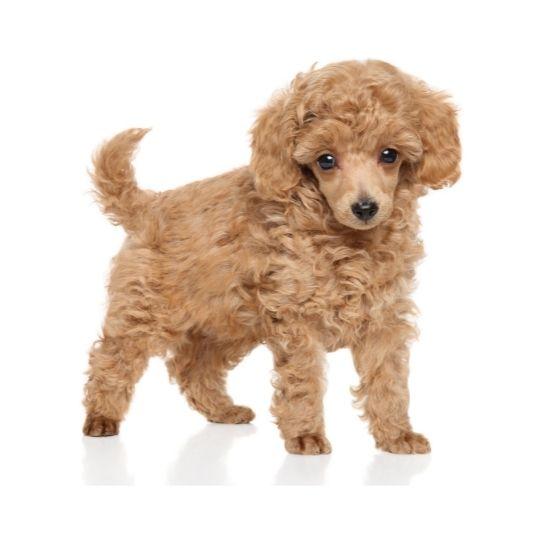 razas de perros toy