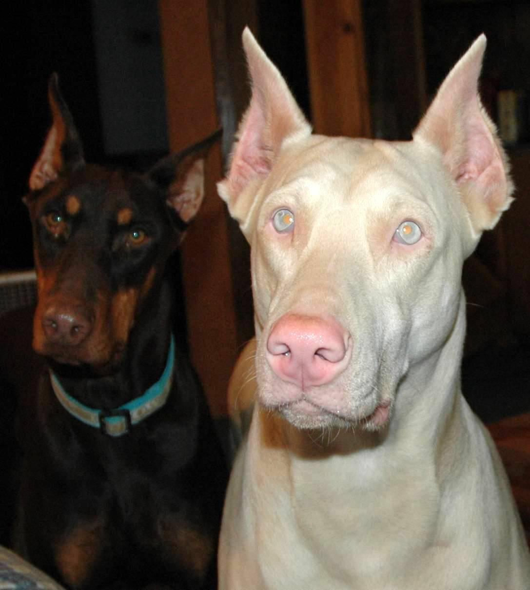perros albinos