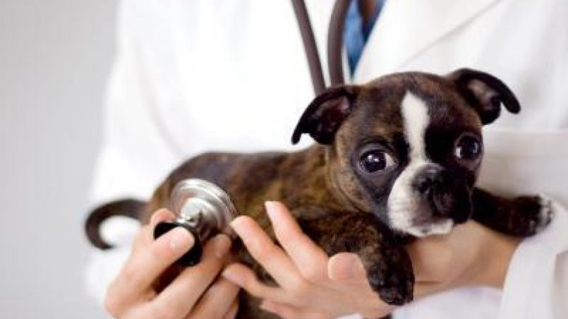 cuidados veterinarios del cachorro
